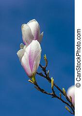 Spring blooming magnolia