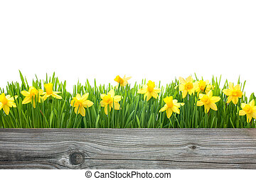 spring daffodils flowers with copy space for your message
