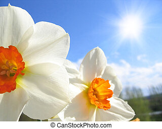 Spring flower - narcissus