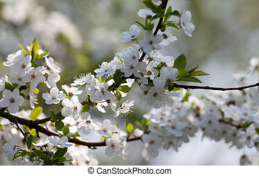 Spring flowers of cherry tree