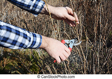 Spring Gardening. Gardener cutting blackcurrant bush with bypass secateurs in early spring.