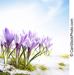 spring snowdrops crocus flowers in