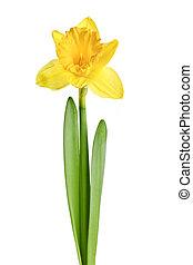 Spring yellow daffodil