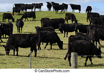 Steers Bulls in Beef Farm