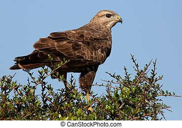 Steppe Buzzard Bird of Prey perched on top of a tree