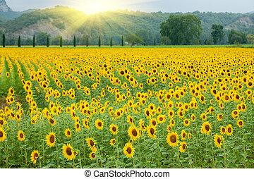 sunflower field landscape with summer sunlight