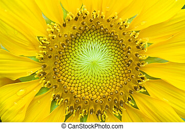 A close-up of a new sunflower