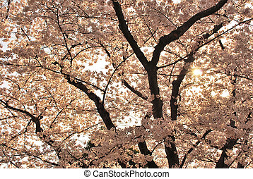 Sunset view of cherry blossoms during spring
