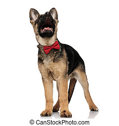 surprised wolf dog wearing red bowtie looking up