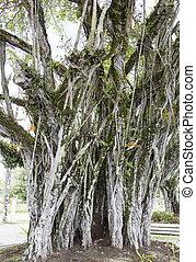 Suva Town Tree
