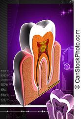 Teeth cross section