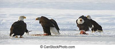 The Bald eagles ( Haliaeetus leucocephalus )