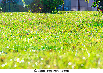 The grass in the backyard is covered with morning dew that shines in the rays of the bright low sun, selective focus