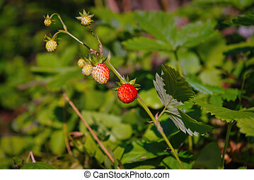 The wild strawberry bush in a forest. Red strawberries berry in wild meadow, close up.