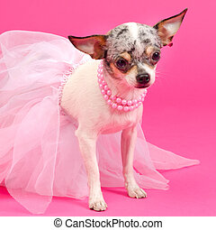 Tiny elegant Chihuahua dog