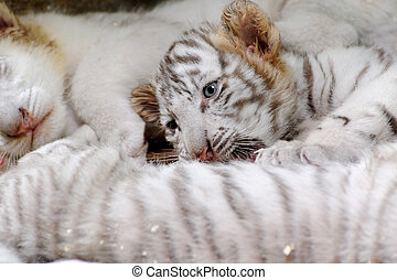 A tiny tiger lying on the ground in the zoo