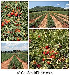 tomato cultivation collage