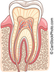 Medical Vector Illustration of Human Tooth Cross Section