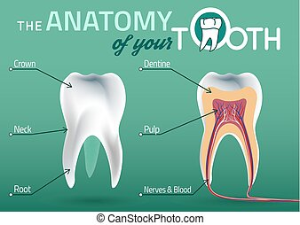 Tooth vector anatomy