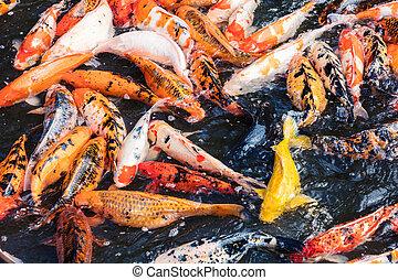 many carp in pool