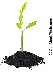 tree growing on soil with white background