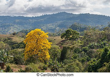 Tree with yellow foliage. A yellow tree on green hillsides in mountains rain forest of Costa Rica.