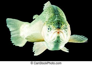 Trout Fish Head