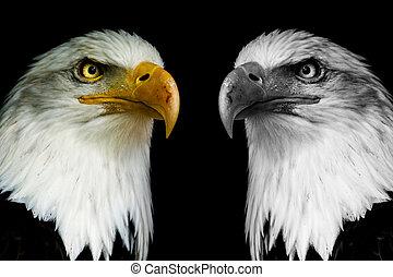 Two face eagles with black shine. ((Haliaeetus albicilla)