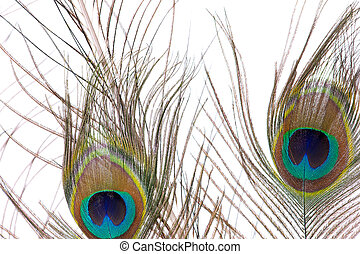Two Peacock Feathers