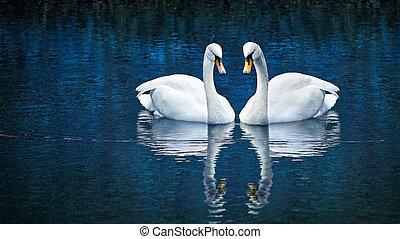 Two white swan