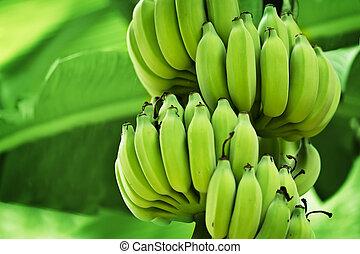 Unripe bananas in the jungle