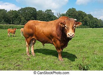 limousine bull