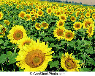Photo of ripening sunflowers growing on agricultural field at summer