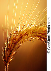 Macro of wheat against strong and warm backlight