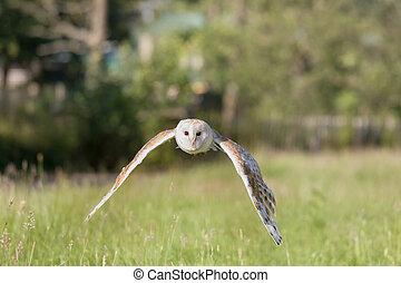 White barn owl in flight
