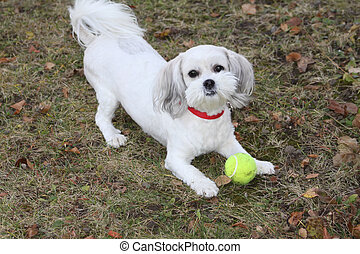 White dog playing with ball