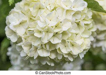 "White flowers, ""snowball"" flowers, Viburnum opulus ornamental bush"