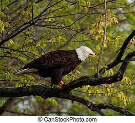Wild Bald Eagle perched in a tree