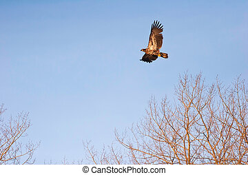 Wild Immature Bald Eagle in Flight at Sunset