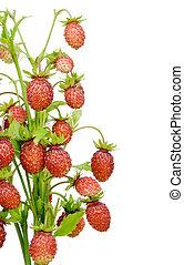 wild strawberry bush fragment postcard