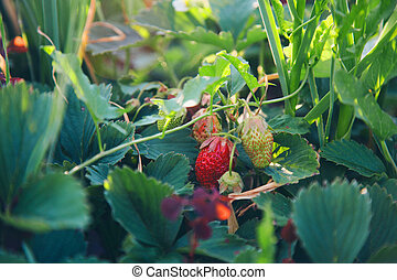Wild strawberry bush with ripe berries and green leafs close-up, forest on background