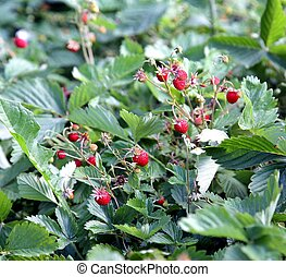 Wild strawberry bush with ripe berries and green leafs. Macro.