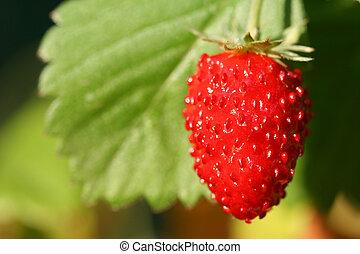 Wild strawberry fruit