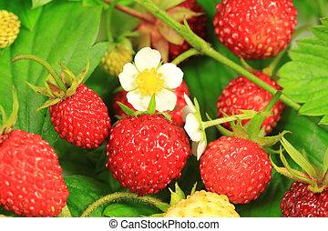 Wild strawberry group