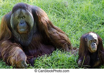 A big male and female orangutan couple monkeys from Borneo, south east asia.