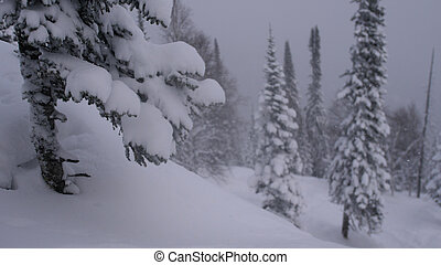 Winter snowfall in the forest, lovely snowy Christmas morning with falling snow. Christmas background. Snow covered trees. Winter landscape. Snow covered trees.