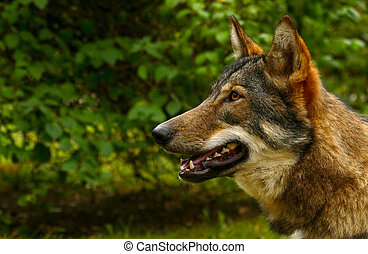 Wolf Face Close Up