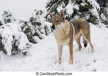 Wolf in fresh snow