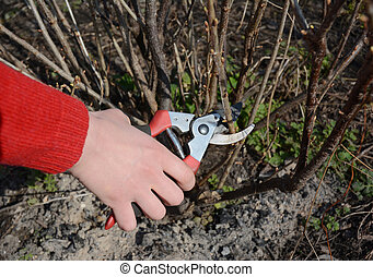 Woman cutting blackcurrant bush with bypass secateurs.