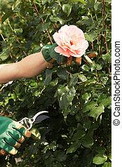 Woman picking a fresh pink rose on the bush